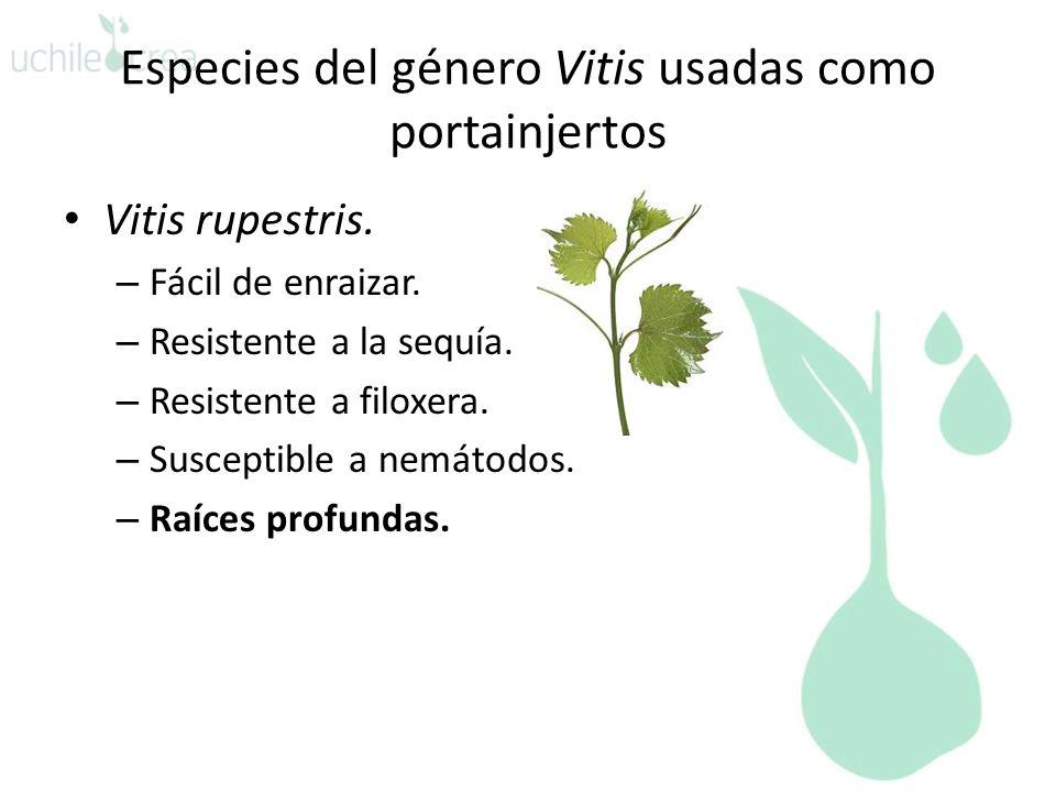 Especies del género Vitis usadas como portainjertos Vitis rupestris. – Fácil de enraizar. – Resistente a la sequía. – Resistente a filoxera. – Suscept
