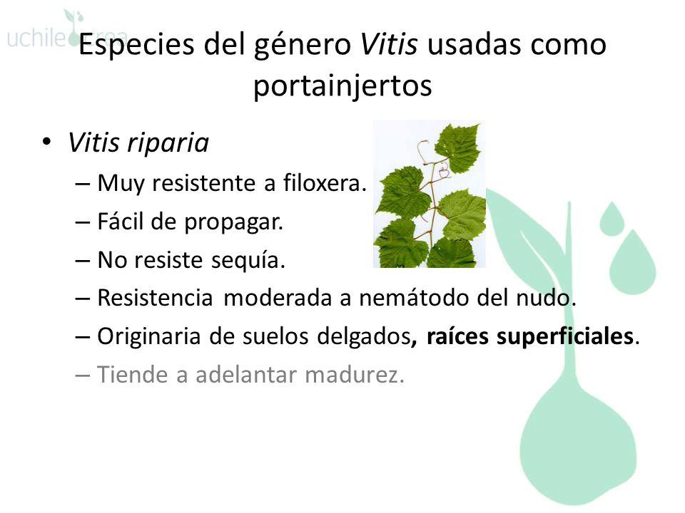 Especies del género Vitis usadas como portainjertos Vitis riparia – Muy resistente a filoxera. – Fácil de propagar. – No resiste sequía. – Resistencia