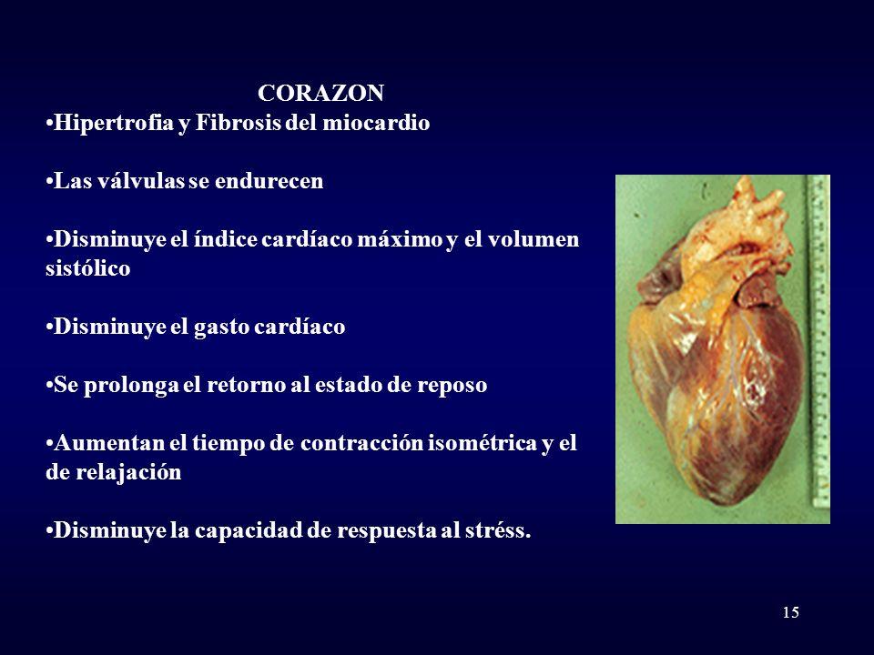 CORAZON Hipertrofia y Fibrosis del miocardio Las válvulas se endurecen Disminuye el índice cardíaco máximo y el volumen sistólico Disminuye el gasto c