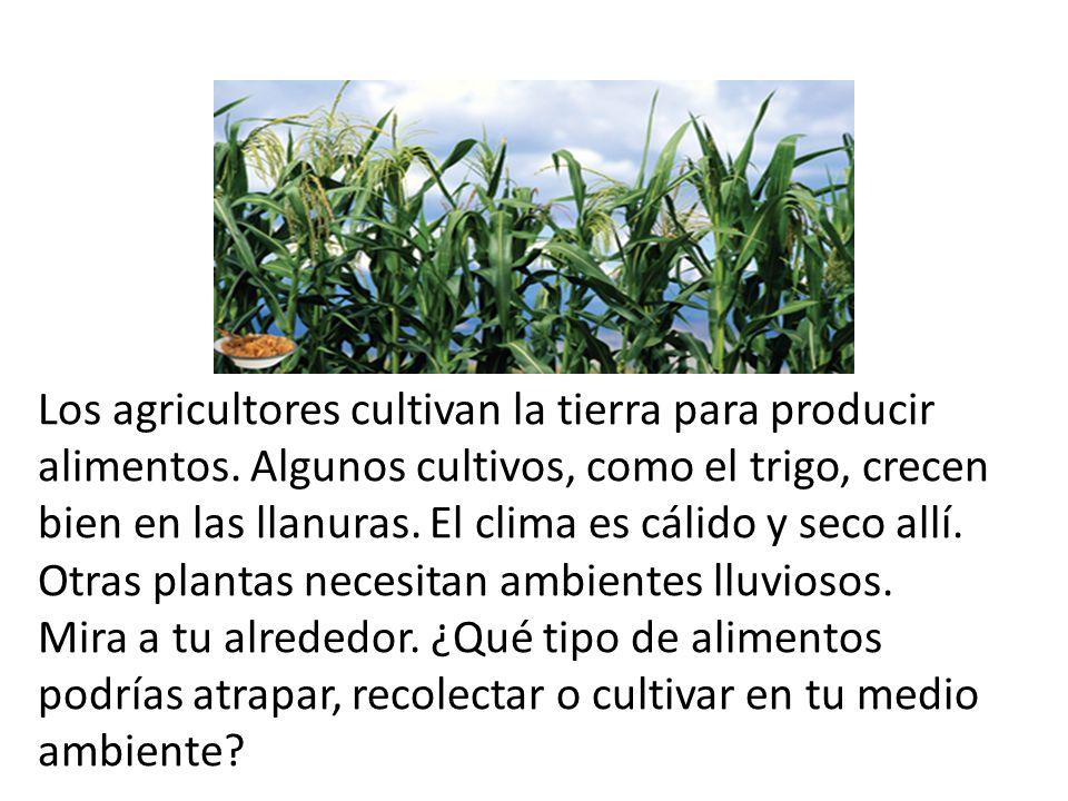 Los agricultores cultivan la tierra para producir alimentos. Algunos cultivos, como el trigo, crecen bien en las llanuras. El clima es cálido y seco a