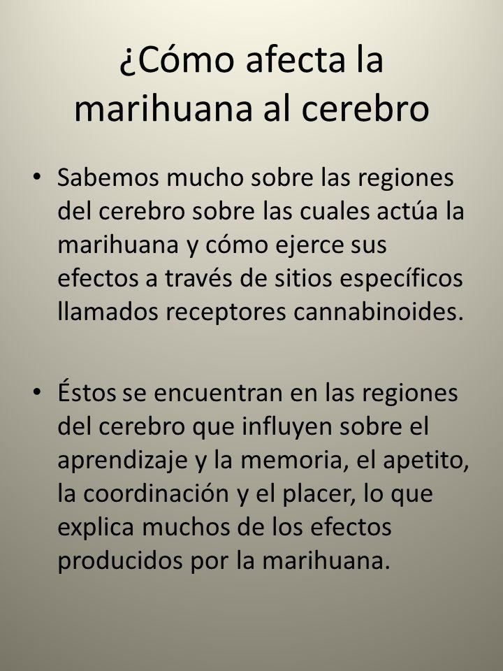 ¿Cómo afecta la marihuana al cerebro Sabemos mucho sobre las regiones del cerebro sobre las cuales actúa la marihuana y cómo ejerce sus efectos a trav
