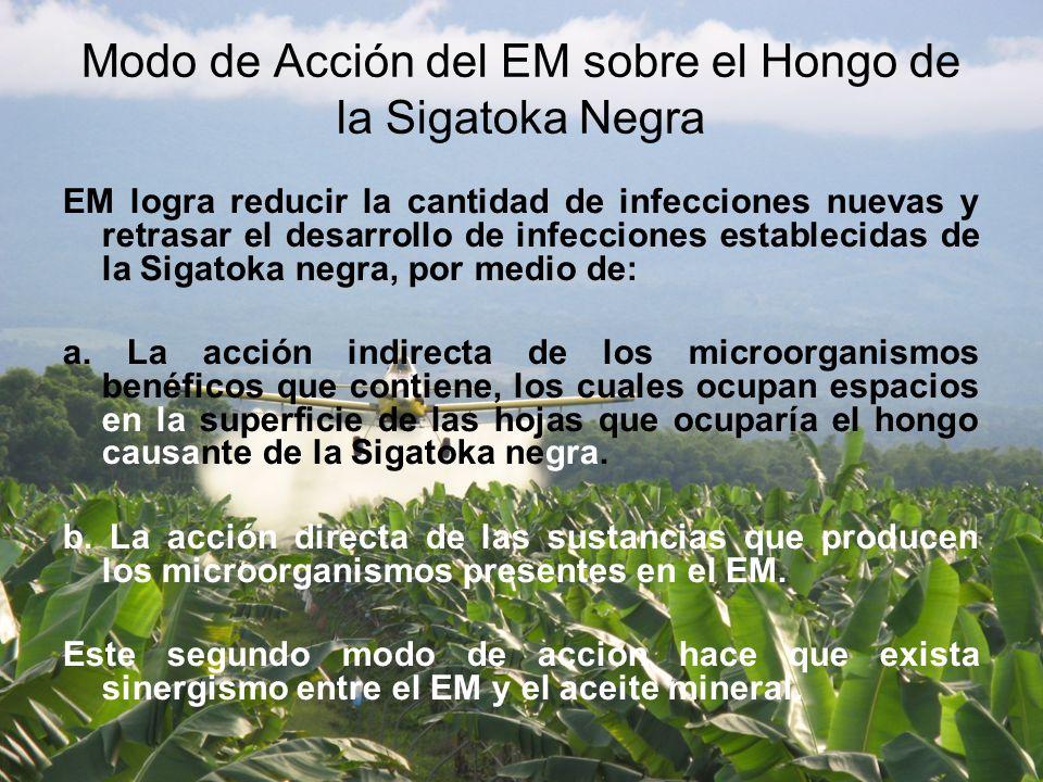 Modo de Acción del EM sobre el Hongo de la Sigatoka Negra EM logra reducir la cantidad de infecciones nuevas y retrasar el desarrollo de infecciones establecidas de la Sigatoka negra, por medio de: a.