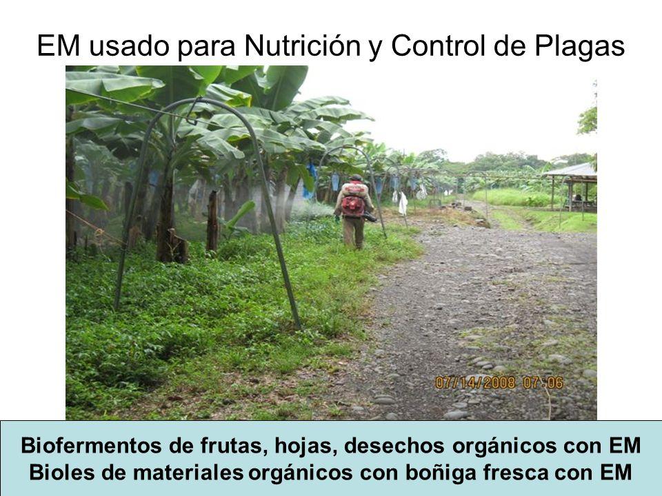 EM usado para Nutrición y Control de Plagas Biofermentos de frutas, hojas, desechos orgánicos con EM Bioles de materiales orgánicos con boñiga fresca con EM