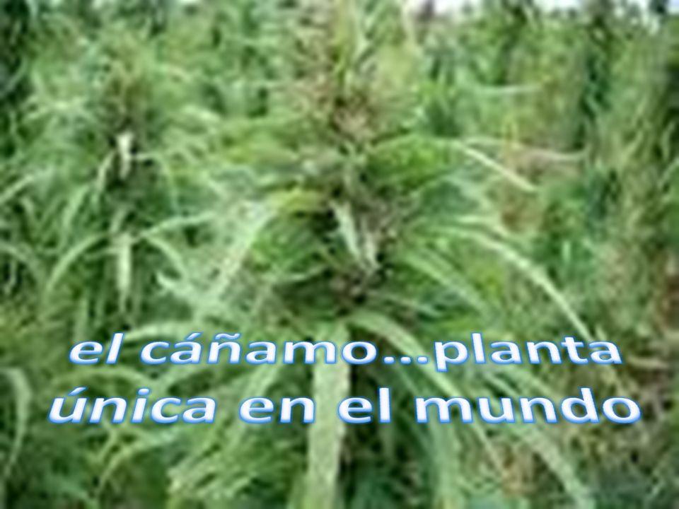 Una lecha rica y sana Evidentemente, hecha de cañamones, la horchata tiene las mismas propiedades medicinales que dichas semillas.