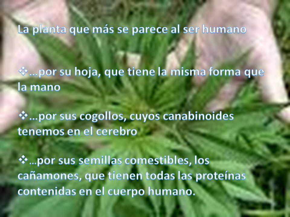 Lo que diferencia el cáñamo de la marihuana.