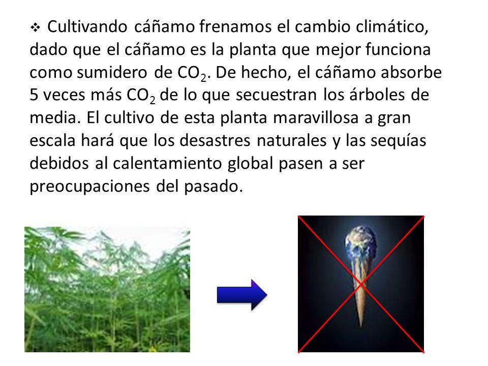Cultivando cáñamo frenamos el cambio climático, dado que el cáñamo es la planta que mejor funciona como sumidero de CO 2.