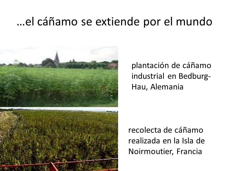 …el cáñamo se extiende por el mundo plantación de cáñamo industrial en Bedburg- Hau, Alemania recolecta de cáñamo realizada en la Isla de Noirmoutier, Francia