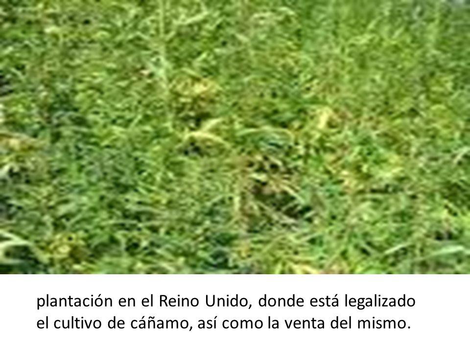 plantación en el Reino Unido, donde está legalizado el cultivo de cáñamo, así como la venta del mismo.