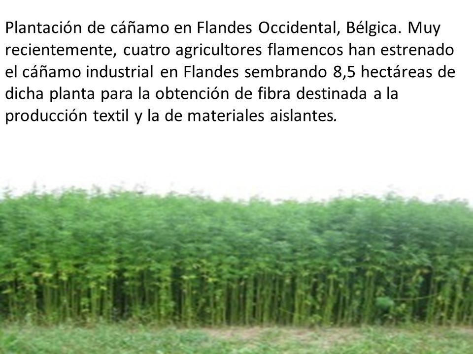 Plantación de cáñamo en Flandes Occidental, Bélgica.