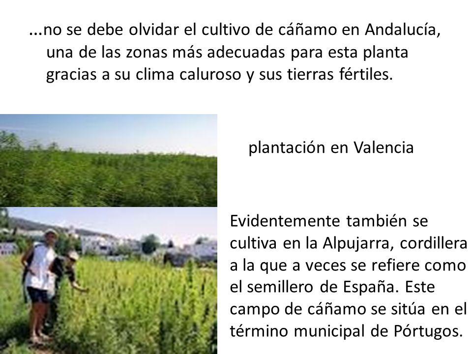 … no se debe olvidar el cultivo de cáñamo en Andalucía, una de las zonas más adecuadas para esta planta gracias a su clima caluroso y sus tierras fértiles.