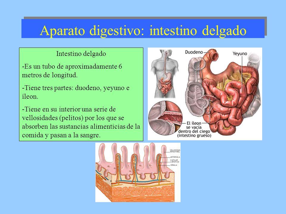 Aparato digestivo: intestino delgado Intestino delgado -Es un tubo de aproximadamente 6 metros de longitud. -Tiene tres partes: duodeno, yeyuno e íleo