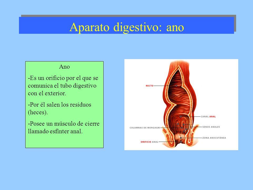 Aparato digestivo: ano Ano -Es un orificio por el que se comunica el tubo digestivo con el exterior. -Por él salen los residuos (heces). -Posee un mús