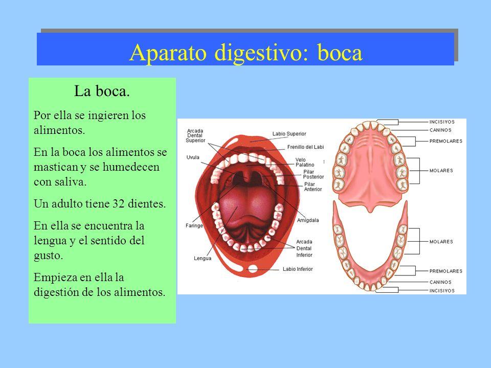 Aparato digestivo: boca La boca. Por ella se ingieren los alimentos. En la boca los alimentos se mastican y se humedecen con saliva. Un adulto tiene 3