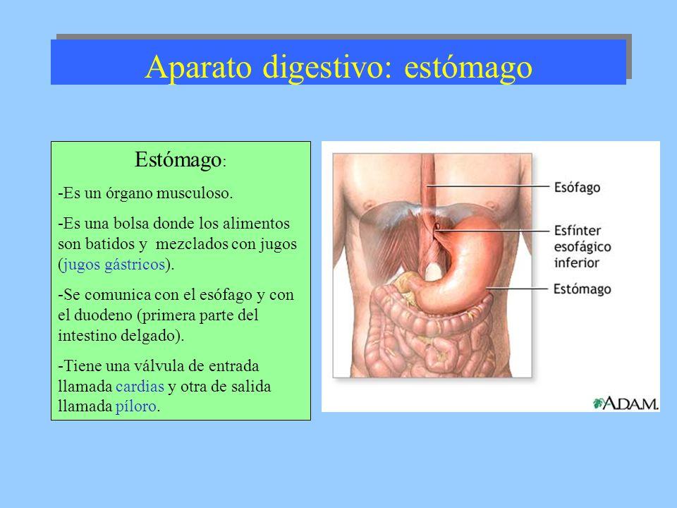 Aparato digestivo: estómago Estómago : -Es un órgano musculoso. -Es una bolsa donde los alimentos son batidos y mezclados con jugos (jugos gástricos).