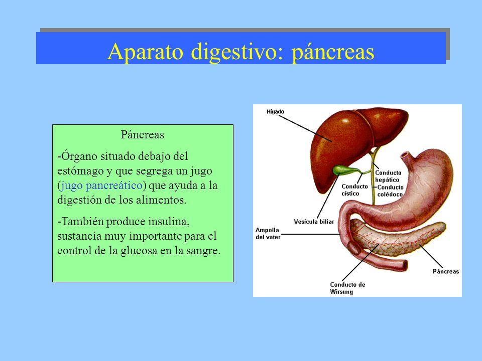 Aparato digestivo: páncreas Páncreas -Órgano situado debajo del estómago y que segrega un jugo (jugo pancreático) que ayuda a la digestión de los alim
