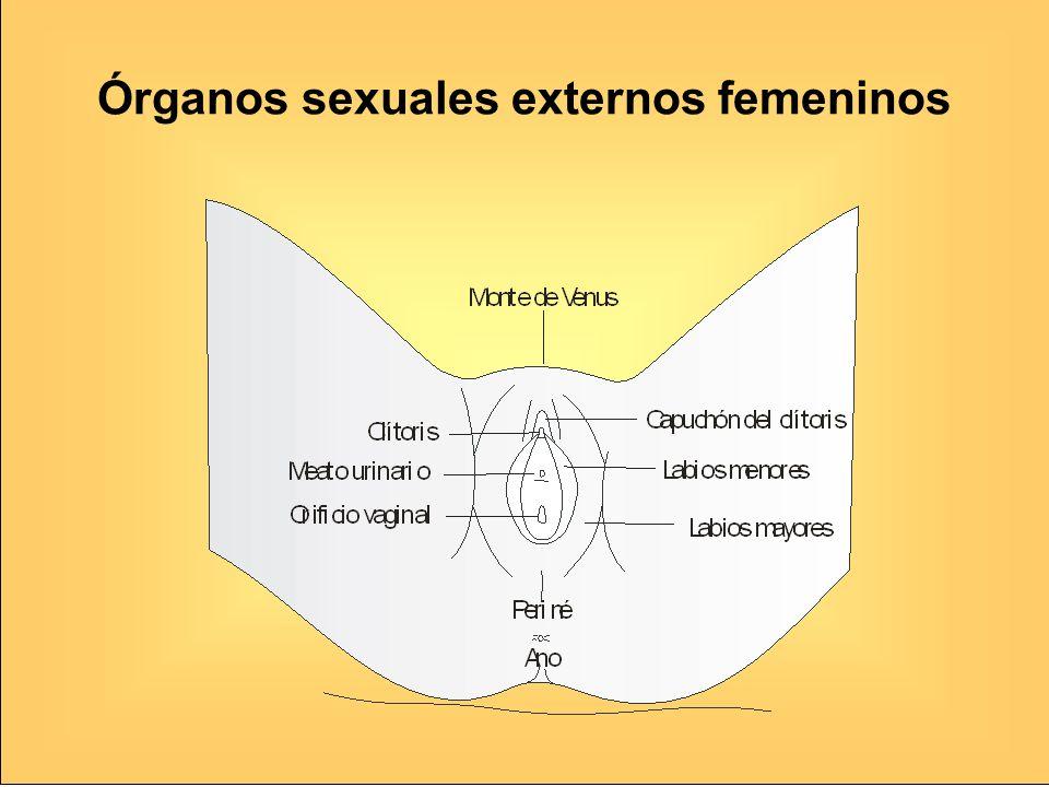 Órganos sexuales externos femeninos