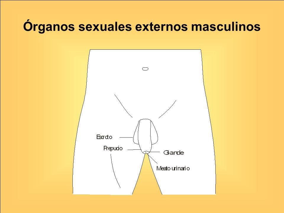 Órganos sexuales externos masculinos