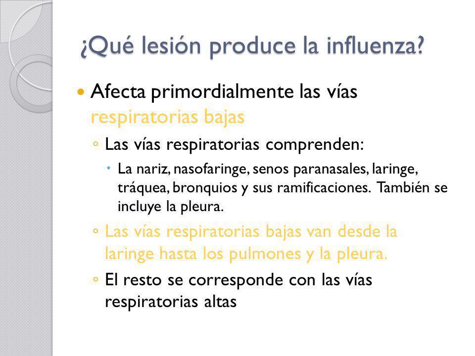 ¿Qué lesión produce la influenza? Afecta primordialmente las vías respiratorias bajas Las vías respiratorias comprenden: La nariz, nasofaringe, senos