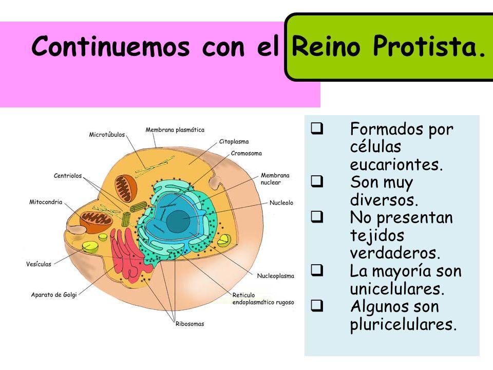 Continuemos con el Reino Protista. Formados por células eucariontes. Son muy diversos. No presentan tejidos verdaderos. La mayoría son unicelulares. A