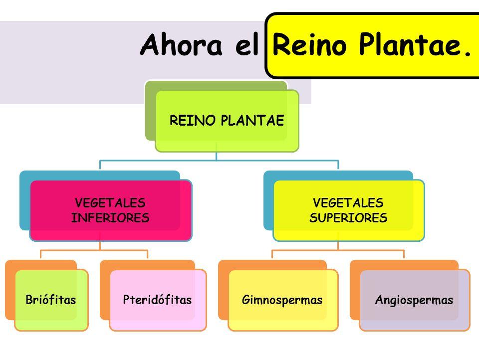 Ahora el Reino Plantae. REINO PLANTAE VEGETALES INFERIORES BriófitasPteridófitas VEGETALES SUPERIORES GimnospermasAngiospermas