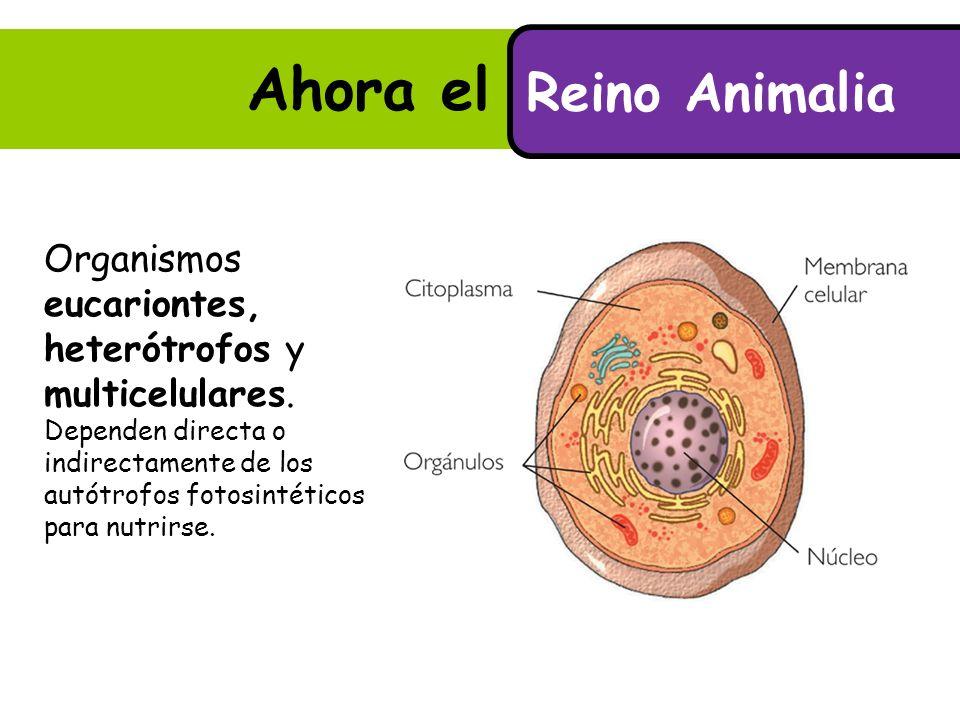 Ahora el Reino Animalia.Reino Animalia Organismos eucariontes, heterótrofos y multicelulares.