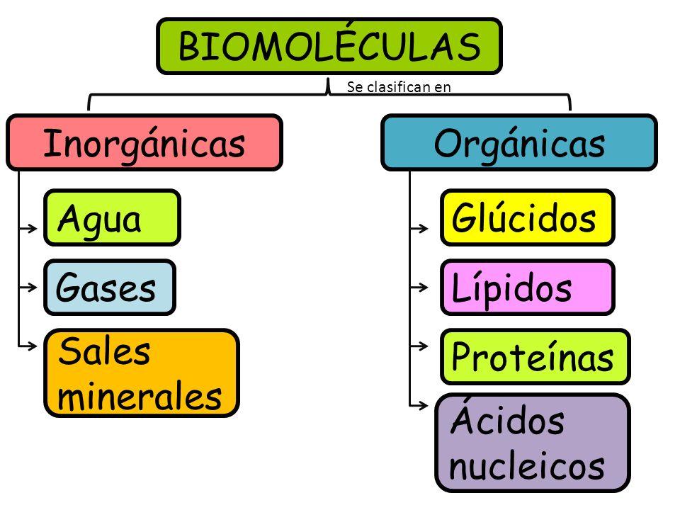 BIOMOLÉCULAS InorgánicasOrgánicas Agua Sales minerales Gases Glúcidos Lípidos Ácidos nucleicos Proteínas Se clasifican en