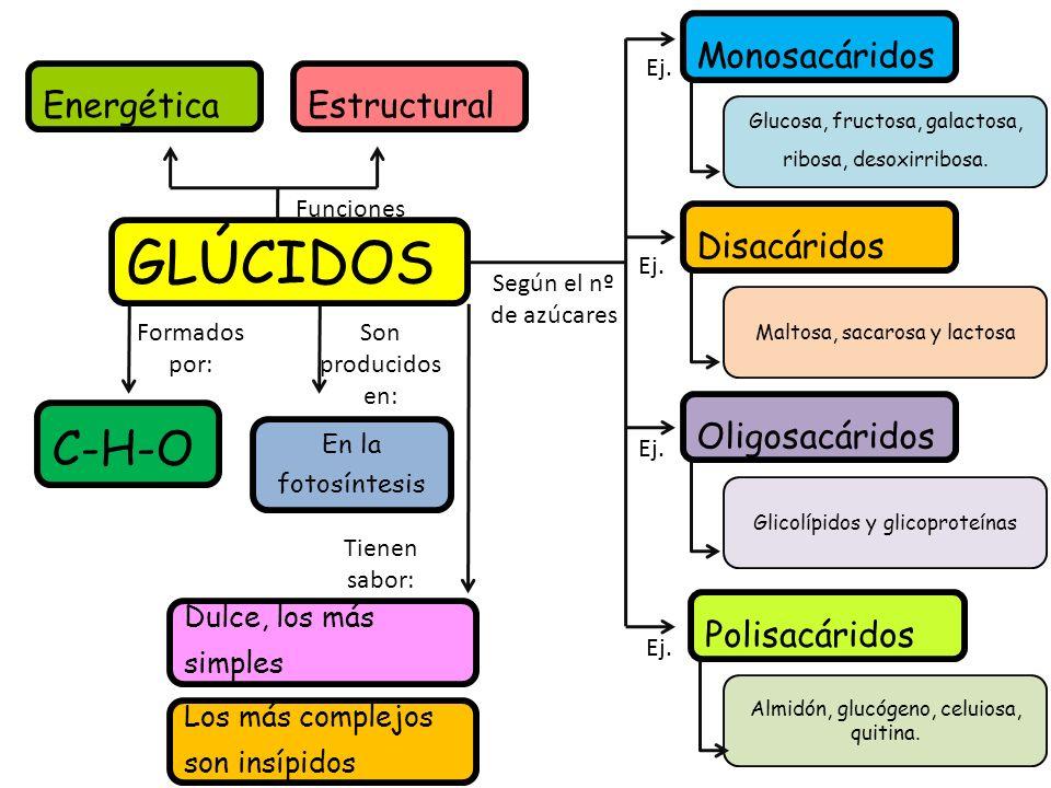 GLÚCIDOS EnergéticaEstructural Funciones Según el nº de azúcares Monosacáridos Disacáridos Oligosacáridos Polisacáridos Glucosa, fructosa, galactosa, ribosa, desoxirribosa.