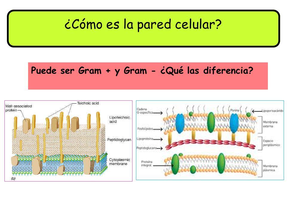 ¿Cómo es la pared celular? Puede ser Gram + y Gram - ¿Qué las diferencia?