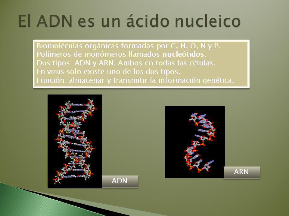 Biomoléculas orgánicas formadas por C, H, O, N y P.