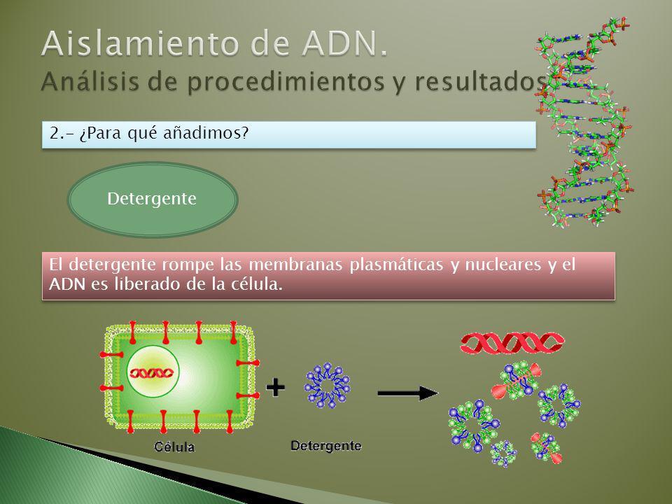 El detergente rompe las membranas plasmáticas y nucleares y el ADN es liberado de la célula.