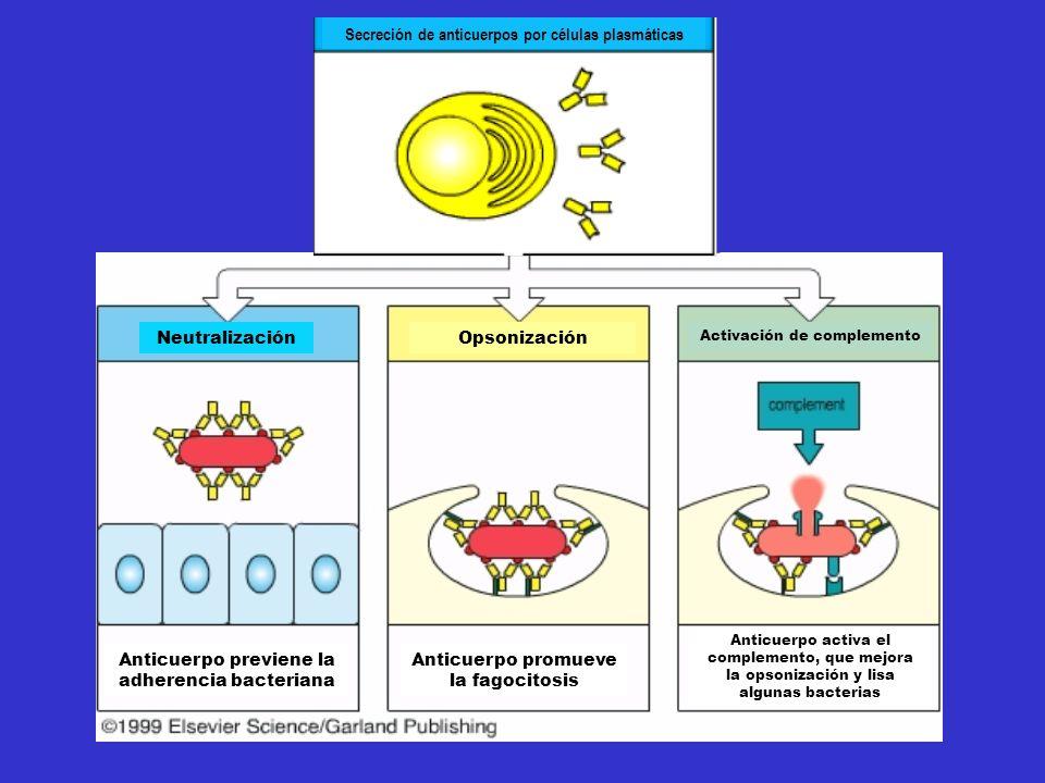 Neutralización Anticuerpo previene la adherencia bacteriana Anticuerpo promueve la fagocitosis Anticuerpo activa el complemento, que mejora la opsonización y lisa algunas bacterias Opsonización Activación de complemento Secreción de anticuerpos por células plasmáticas