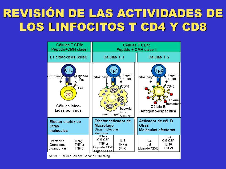 REVISIÓN DE LAS ACTIVIDADES DE LOS LINFOCITOS T CD4 Y CD8 Células T CD8: Péptido+CMH clase I Células T CD4: Péptido + CMH clase II LT citotóxicos (killer)Células T H 1Células T H 2 citotoxinas Células infec- tadas por virus Ligando Fas citokinas Ligando CD40 bacteria intra- cellular macrófago citokinas Ligando CD40 Toxina bacteriana Célula B Antígeno-específica IFN- GM-CSF TNF- Ligando CD40 Ligando Fas IL-3 TNF- (IL-2) IL-4 IL-5 Ligando CD40 IL-3 GM-CSF IL-10 TGF- ©1999 Elsevier Science/Garland Publishing Efector citotóxico Otras moléculas Efector activador de Macrófago Otras moléculas efectoras Activador de cél.