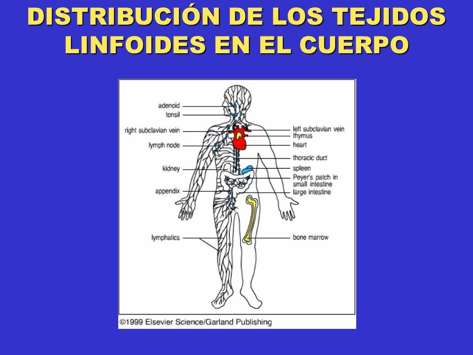DISTRIBUCIÓN DE LOS TEJIDOS LINFOIDES EN EL CUERPO
