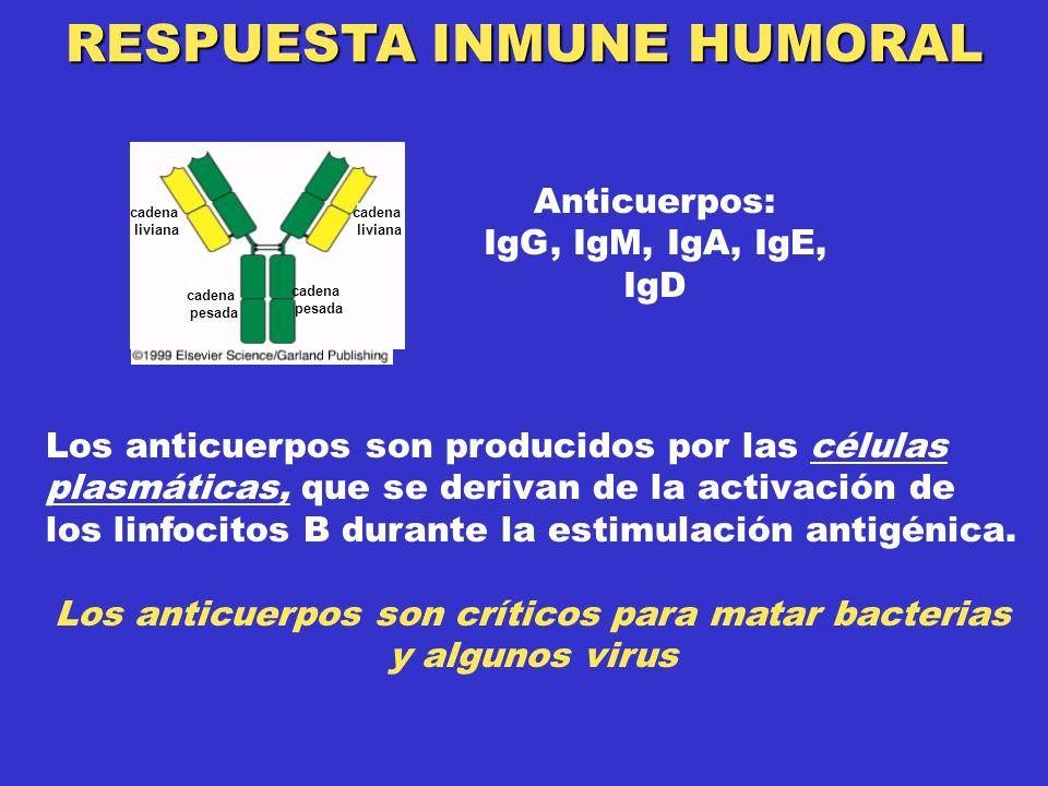 RESPUESTA INMUNE HUMORAL Anticuerpos: IgG, IgM, IgA, IgE, IgD Los anticuerpos son producidos por las células plasmáticas, que se derivan de la activación de los linfocitos B durante la estimulación antigénica.
