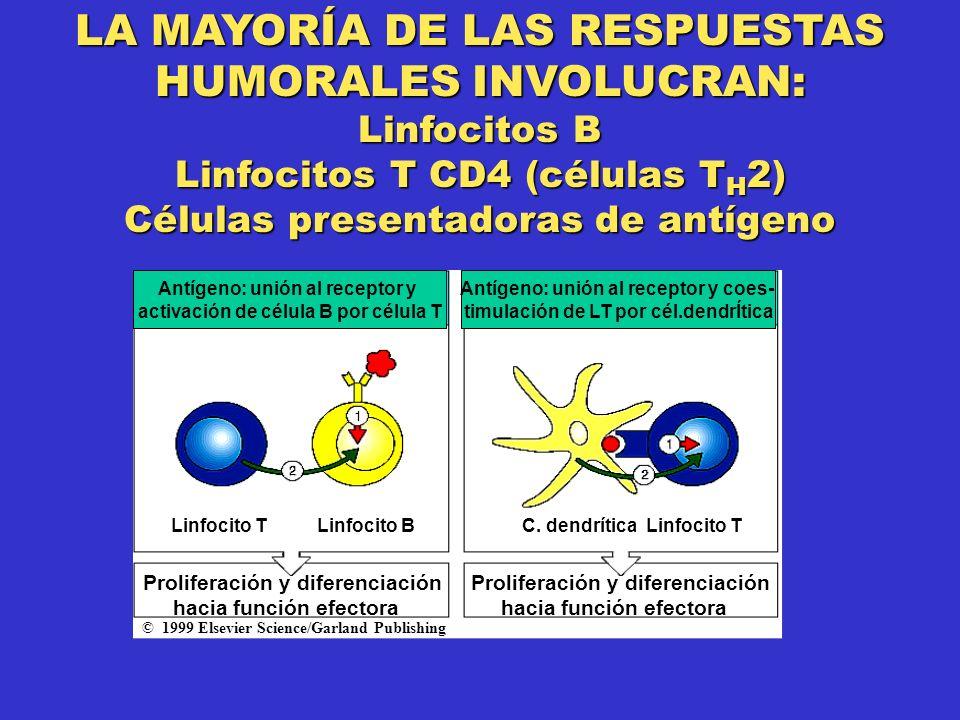 LA MAYORÍA DE LAS RESPUESTAS HUMORALES INVOLUCRAN: Linfocitos B Linfocitos T CD4 (células T H 2) Células presentadoras de antígeno Antígeno: unión al receptor y activación de célula B por célula T Antígeno: unión al receptor y coes- timulación de LT por cél.dendrÍtica Linfocito TLinfocito BC.