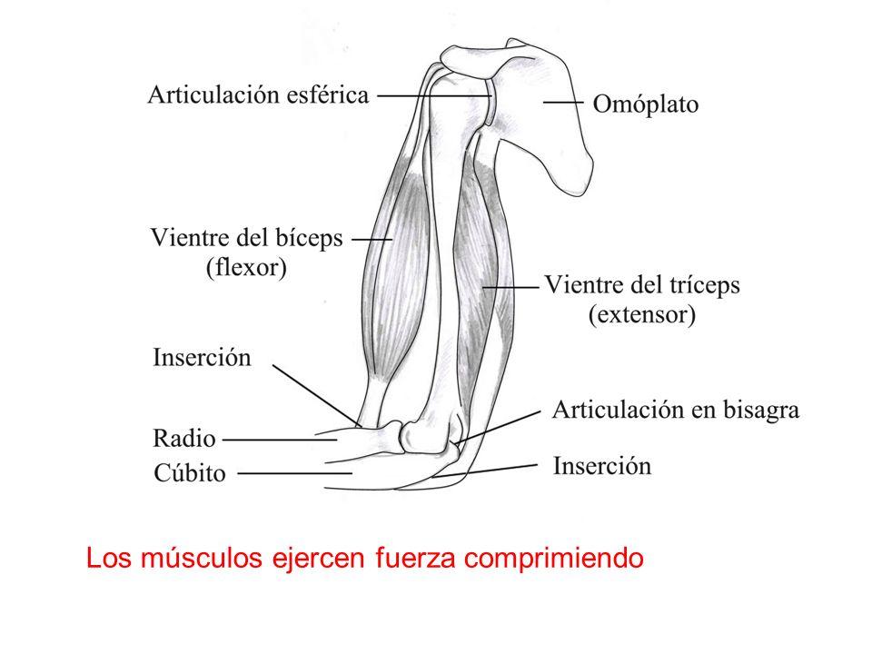Los músculos ejercen fuerza comprimiendo