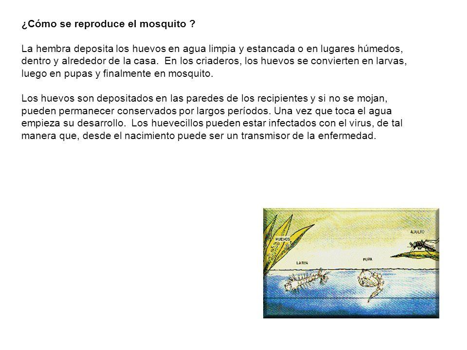 ¿Cómo se reproduce el mosquito ? La hembra deposita los huevos en agua limpia y estancada o en lugares húmedos, dentro y alrededor de la casa. En los