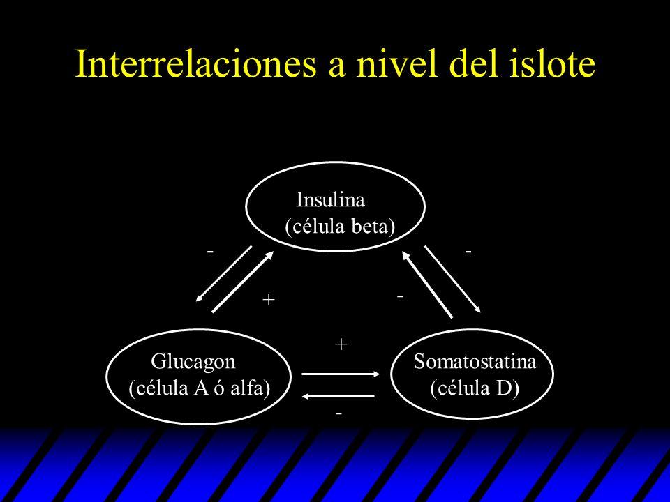 Interrelaciones a nivel del islote Insulina (célula beta) Glucagon (célula A ó alfa) Somatostatina (célula D) + + - - - -