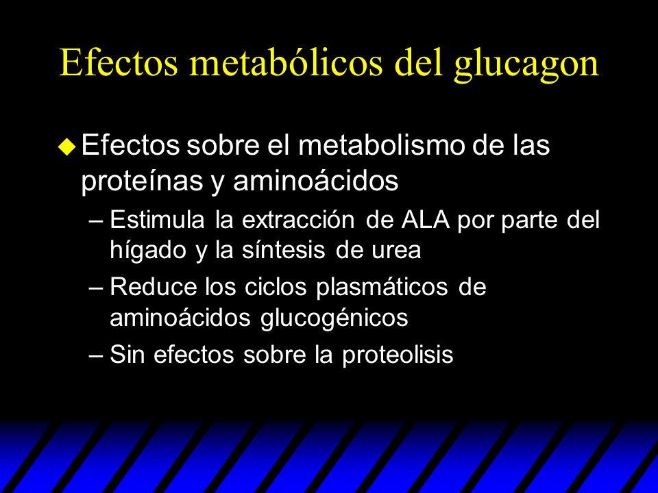Efectos metabólicos del glucagon u Efectos sobre el metabolismo de las proteínas y aminoácidos –Estimula la extracción de ALA por parte del hígado y l