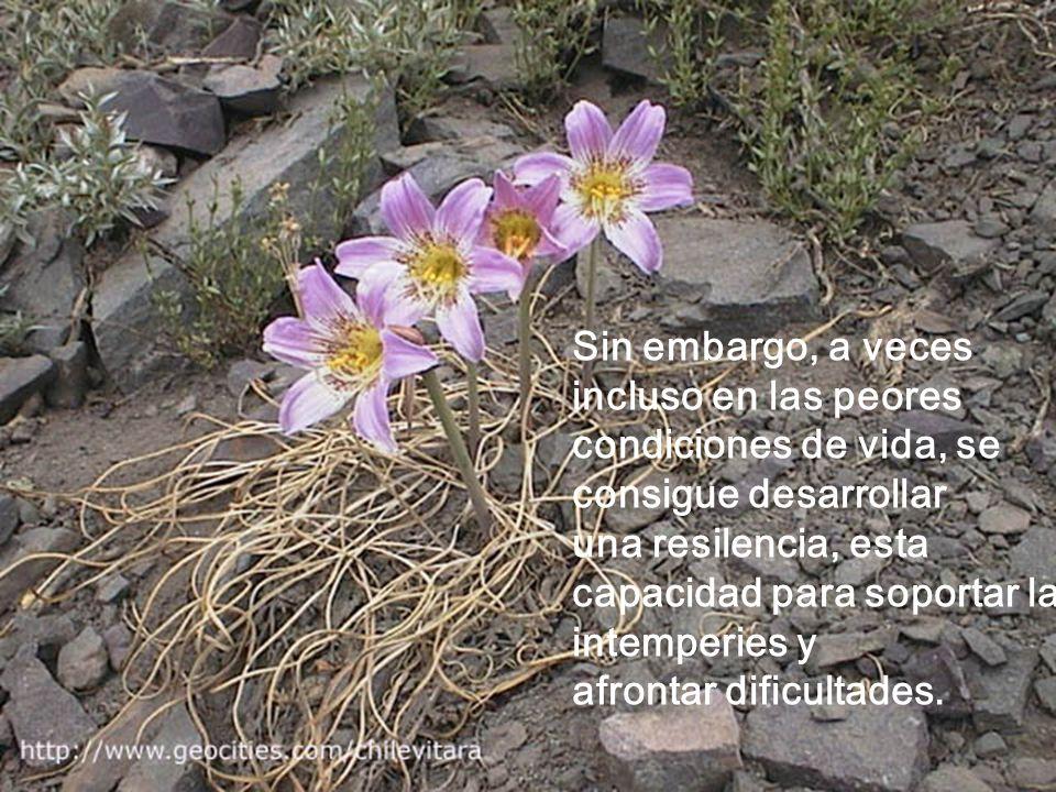 Sin embargo, a veces incluso en las peores condiciones de vida, se consigue desarrollar una resilencia, esta capacidad para soportar las intemperies y