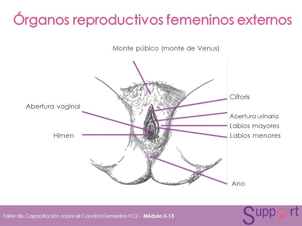 Taller de Capacitación sobre el Condón Femenino FC2 – Módulo 3-13 Monte púbico (monte de Venus) Clítoris Abertura vaginal Abertura urinaria Labios may