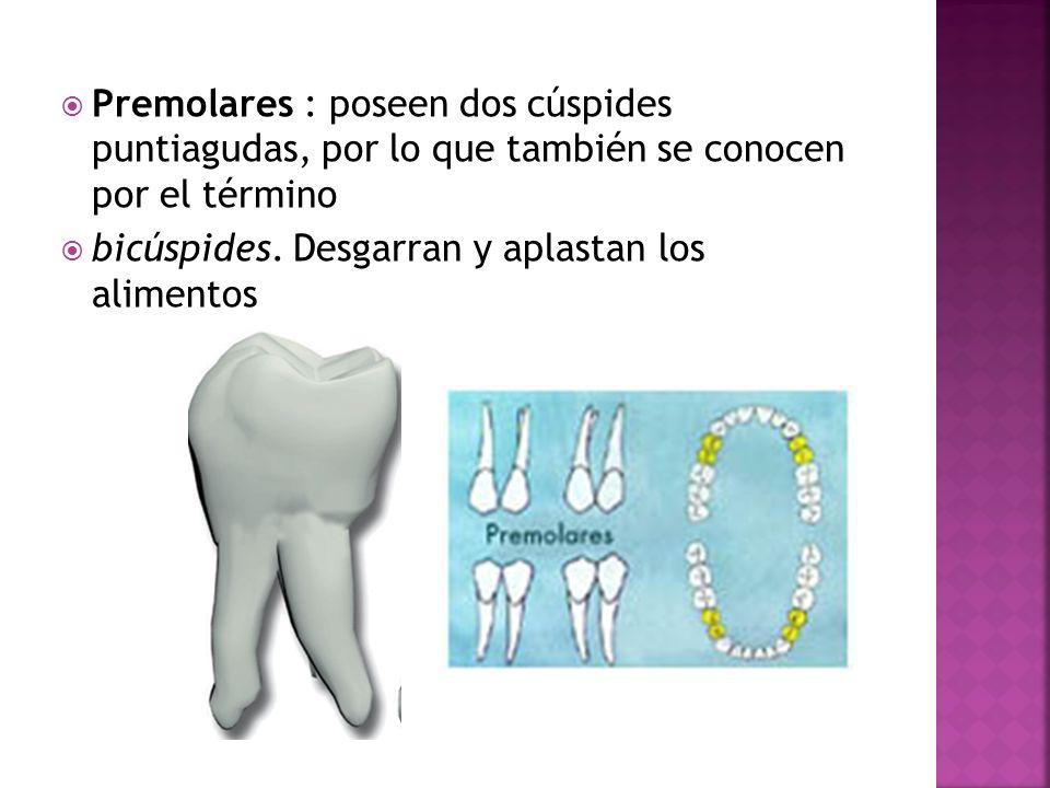 Premolares : poseen dos cúspides puntiagudas, por lo que también se conocen por el término bicúspides. Desgarran y aplastan los alimentos