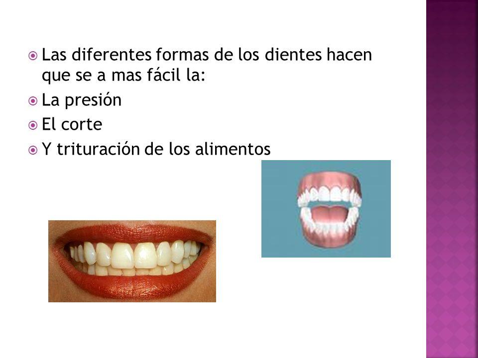 Las diferentes formas de los dientes hacen que se a mas fácil la: La presión El corte Y trituración de los alimentos