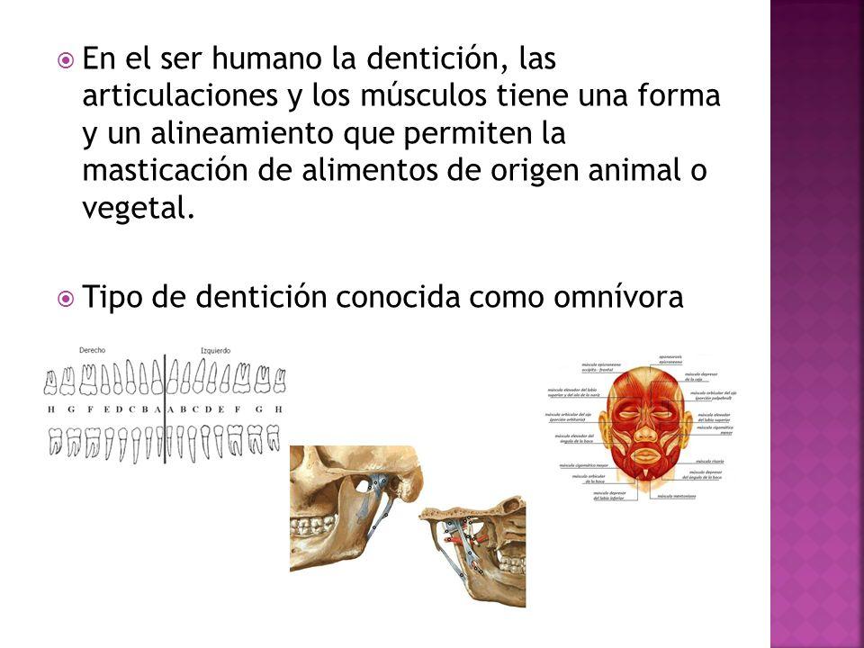 En el ser humano la dentición, las articulaciones y los músculos tiene una forma y un alineamiento que permiten la masticación de alimentos de origen