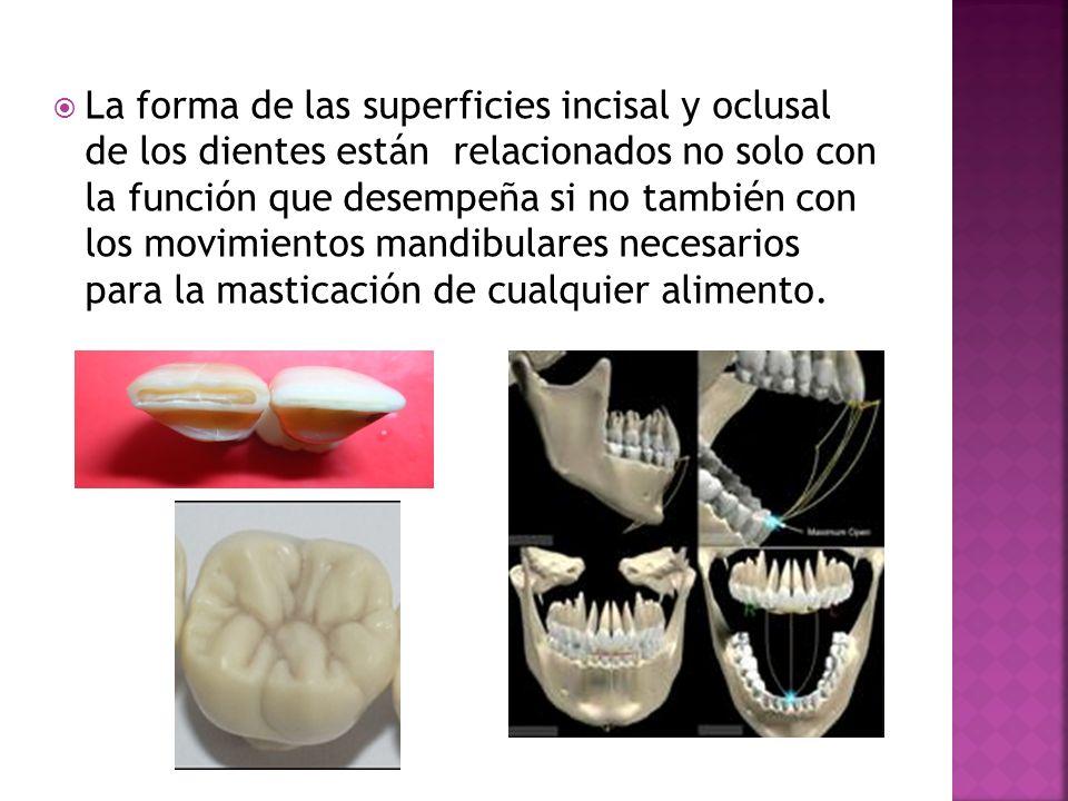 La forma de las superficies incisal y oclusal de los dientes están relacionados no solo con la función que desempeña si no también con los movimientos