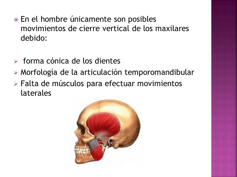En el hombre únicamente son posibles movimientos de cierre vertical de los maxilares debido: forma cónica de los dientes Morfología de la articulación