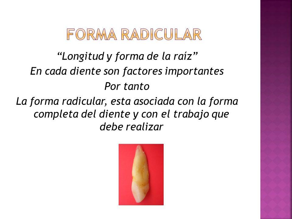 Longitud y forma de la raíz En cada diente son factores importantes Por tanto La forma radicular, esta asociada con la forma completa del diente y con