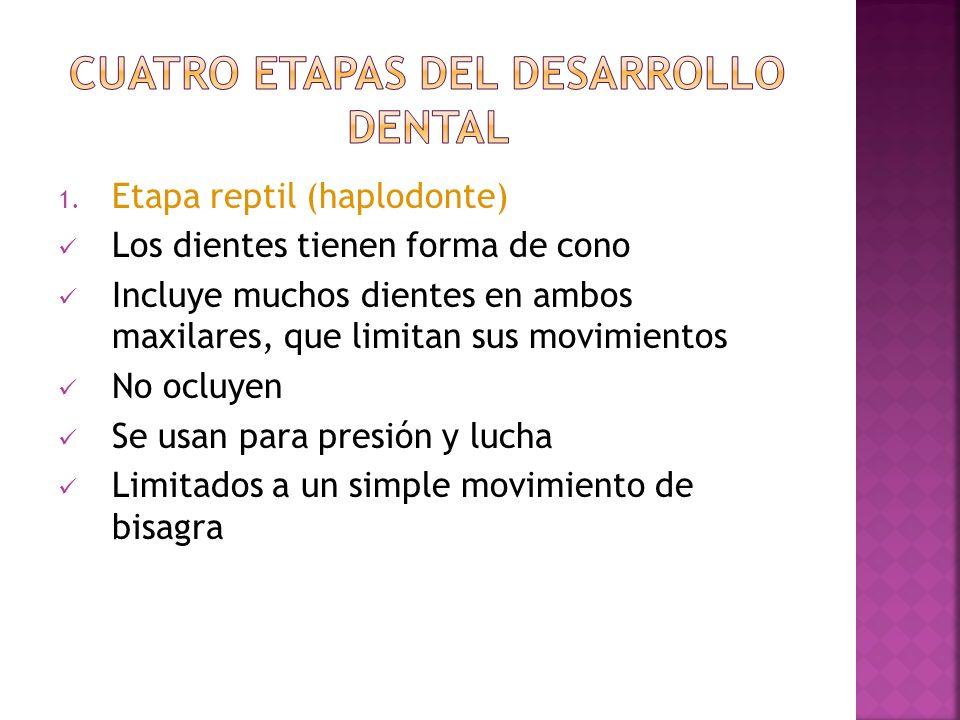 1. Etapa reptil (haplodonte) Los dientes tienen forma de cono Incluye muchos dientes en ambos maxilares, que limitan sus movimientos No ocluyen Se usa