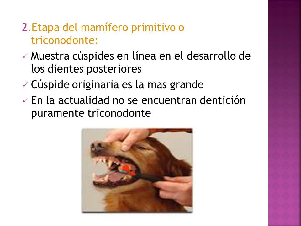 2.Etapa del mamífero primitivo o triconodonte: Muestra cúspides en línea en el desarrollo de los dientes posteriores Cúspide originaria es la mas gran