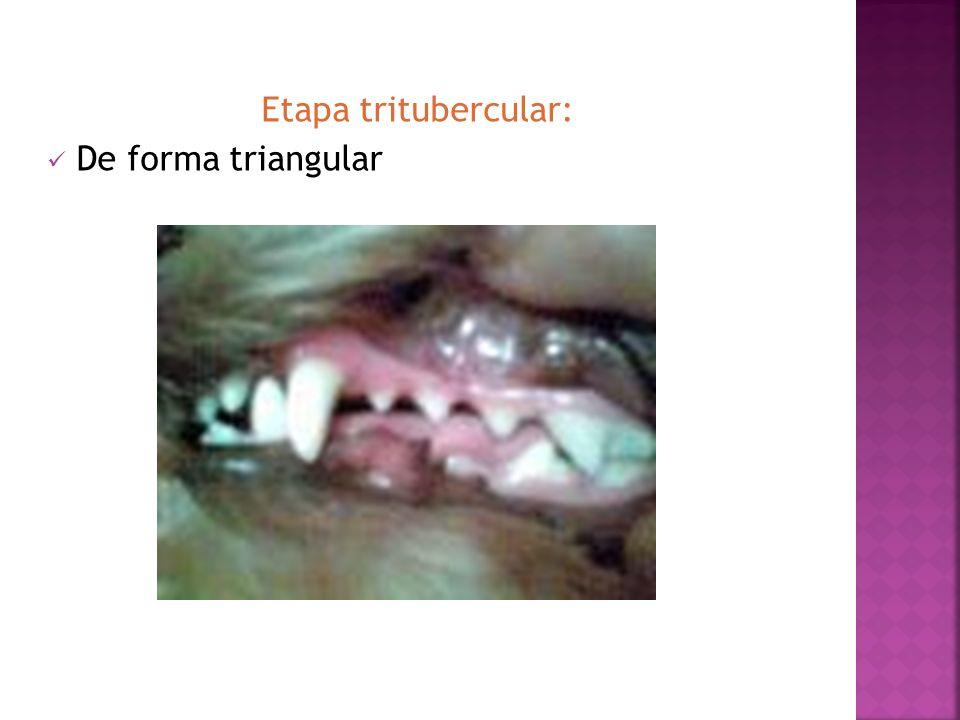 Etapa tritubercular: De forma triangular